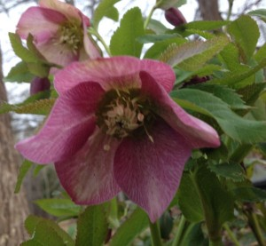 picture of hellebores plant with pink flower
